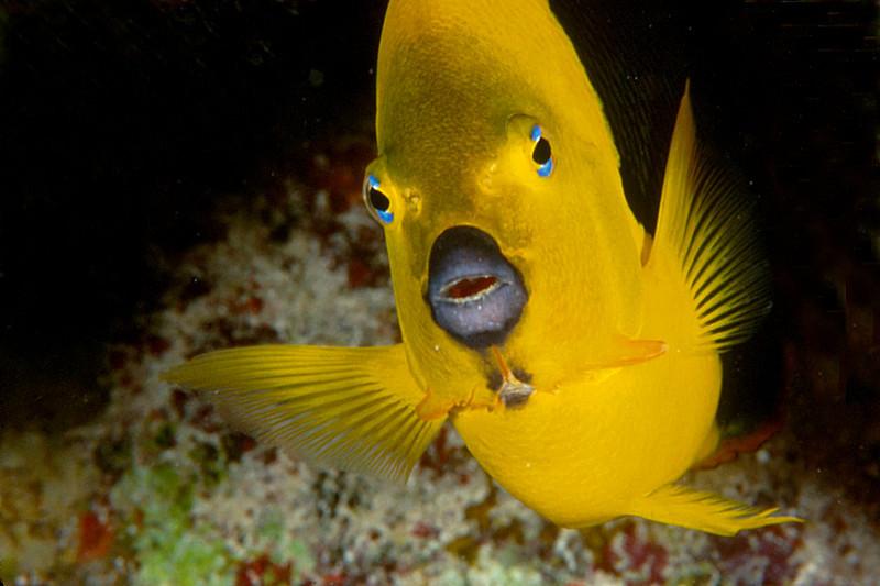 Rock Beauty: Florida Keys Marine Sanctuary