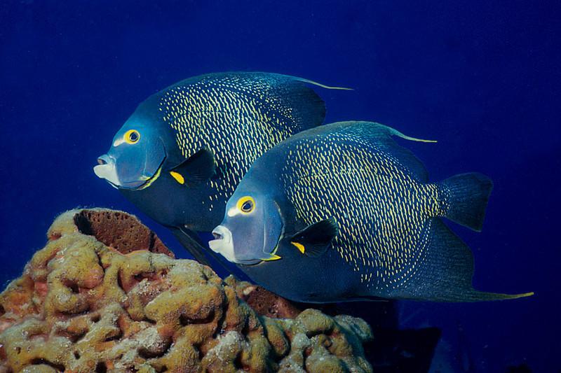 French Angel Fish:  Caribbean