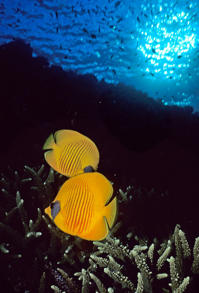 Masked Butterfly Fish:  Red Sea