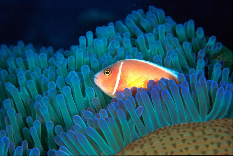 Skunk Anemone Fish