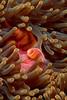 Skunk Anemone Fish: Solomon Islands