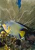 Queen Angel Fish on Key Largo Reef
