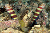 Striped Gobies with Blind Shrimp:  commensual behavior<br /> shrimp excavates hideout while gobies keep lookout