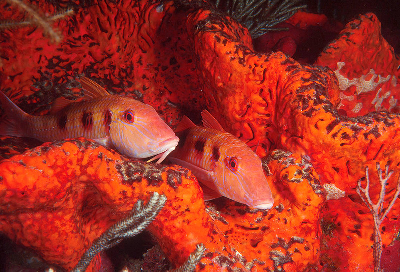 Goatfish pair on Orange Elephant Ear Sponge:  Boynton Beach Reef
