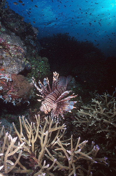 Lion Fish:  Solomon Islands