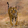 Young Male Tiger: Bandhavgahr Tiger Reserve
