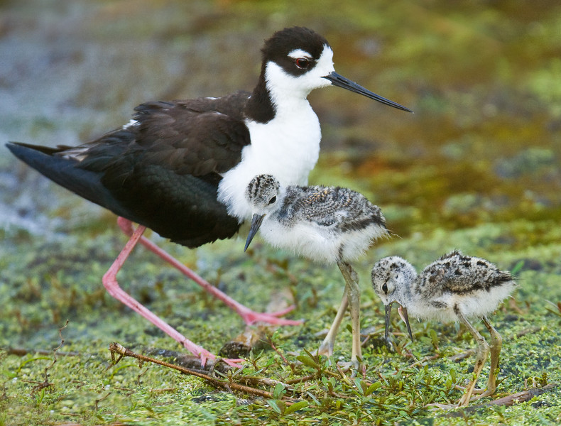 Blackneck Stilt with Chicks