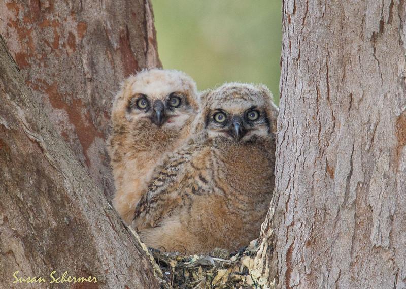 Horned Owls Chicks