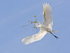 Great Egret - To the Nest
