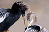 Anhinga Male and Female in Breeding Condition