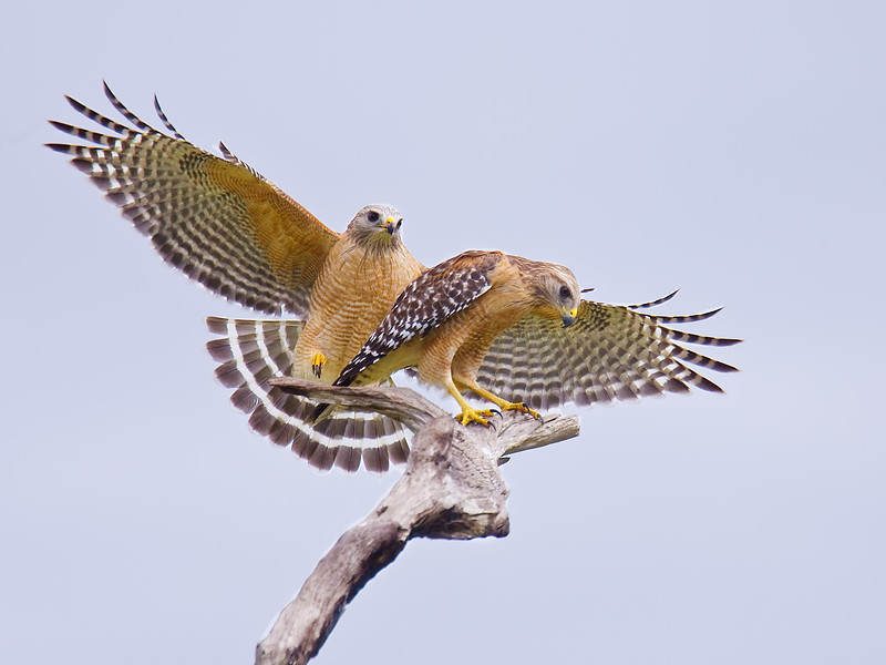 Mating Red-shouldered Hawks