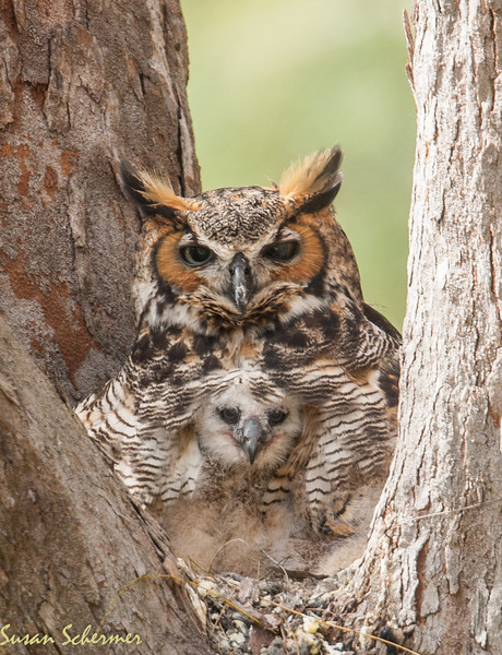 Mother and Child: Great Horned Owls 2