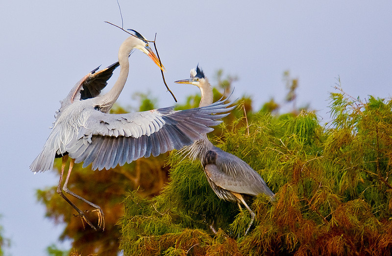 Great Blue Herons Building Nest: Wakodahatchee