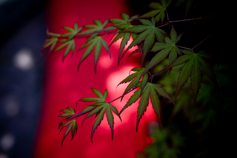 Maple leaves - Ankokuronji Temple, Kamakura