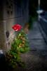 tulip in the spotlight - kamakura