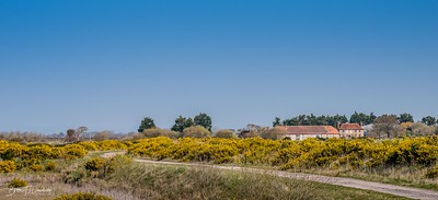 Spring Gorse at Pagham Harbour