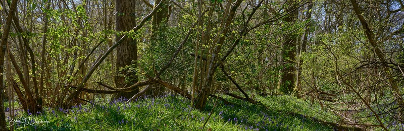 Spring in Butchers Wood-6992 - 3-23 pm