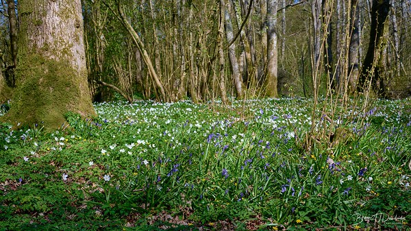 Spring in Butchers Wood-6982 - 3-12 pm