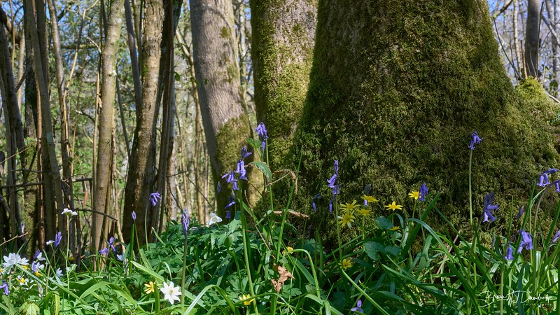 Spring in Butchers Wood-6987 - 3-18 pm