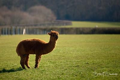 Alpaccas Walk-3156 - 10-04 am