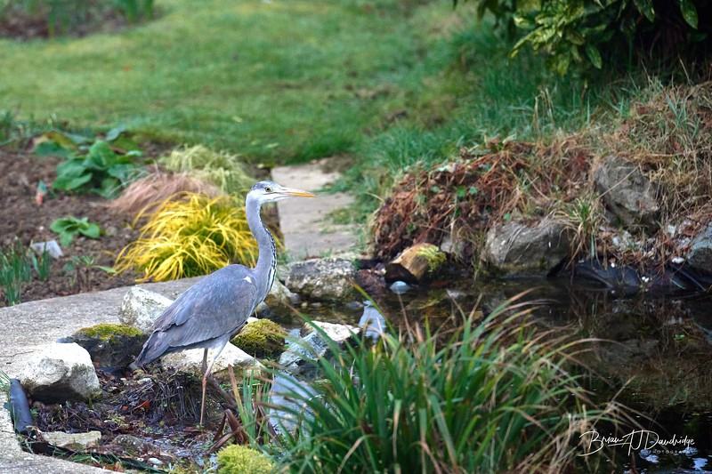 Heron in the pond-3003 - 7-05 am