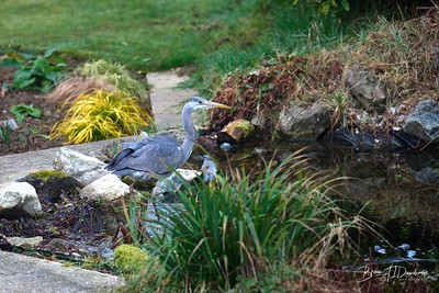 Heron in the pond-3005 - 7-05 am