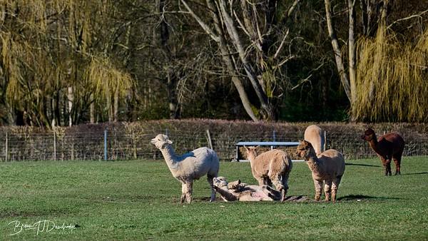 Alpaccas Walk-3211 - 10-15 am