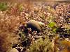Cullercoats Littorina littorea 180307 7099 smg