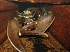 Hommarus gammarus Dove Marine Lab 180307 7170 smg