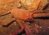 Dove Marine Lab Munida sp.180307 7168 cr