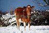 Young Guernsey cow in a snow covered St. Martin parish field on 2 February 2009.<br /> File No. 020209 1262<br /> ©RLLord<br /> fishinfo@guernsey.net