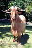 Golden Guernsey Goat at the Guernsey Royal Agricultural Show