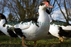 Muscovy duck Cairina moschata 130112 ©RLLord 0696 smg