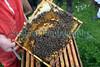 Chris Tomlins bees 250409 ©RLLord 3252 smg