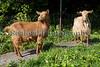 Guernsey Golden goats 250409 ©RLLord 3299 smg