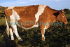 L'Ancresse Common steer Guernsey 061010 ©RLLord 414 smg