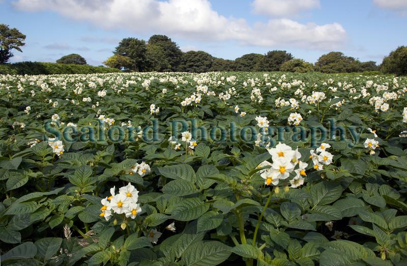 Guernsey potato field St Martin 290611 ©RLLord 9411 smg