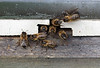 bees at hive entrance 250409 ©RLLord 3286 smg