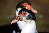Muscovy Duck Cairina moschata Guernsey 130112 ©RLLord 0848 smg