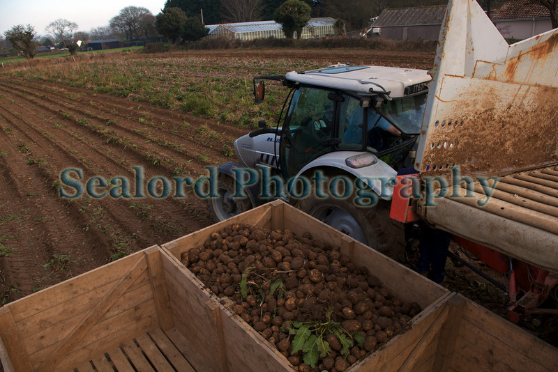 "Roy Lesbirel harvesting potatoes in the parish of St Martin, Guernsey on 18 February 2010<br /> <br /> File No. 180210 9663<br /> <br /> <a href=""http://www.sustainableguernsey.info/blog/"">http://www.sustainableguernsey.info/blog/</a><br /> sustainableguernsey@gmail.com"