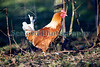 Rooster Guernsey 130112 ©RLLord 0845 smg