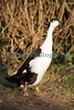 black and white runner duck Roger Burton 150112 ©RLLord 1011 smg