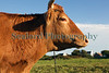 L'Ancresse Common Steer Guernsey 061010 ©RLLord 389 smg