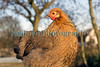 "A true bantam pekin chicken with partridge colouration at Roger Burton's smallholding in Guernsey.  Photographed in late afternoon sun on 15 January 2012.<br /> <br /> File No. 150112 1001<br /> All Rights Reserved ©RLLord<br /> <br /> sustainableguernsey@gmail.com<br /> <br /> <a href=""http://www.sustainableguernsey.info/blog/"">http://www.sustainableguernsey.info/blog/</a><br /> <br /> ."