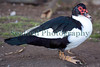 Muscovy duck Cairina moschata 130112 ©RLLord 0852 smg