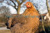 pekin chicken with partridge colouration 150112 ©RLLord 1000 smg