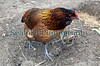 chicken Chris Tomlins Guernsey 250409 ©RLLord 3280 smg