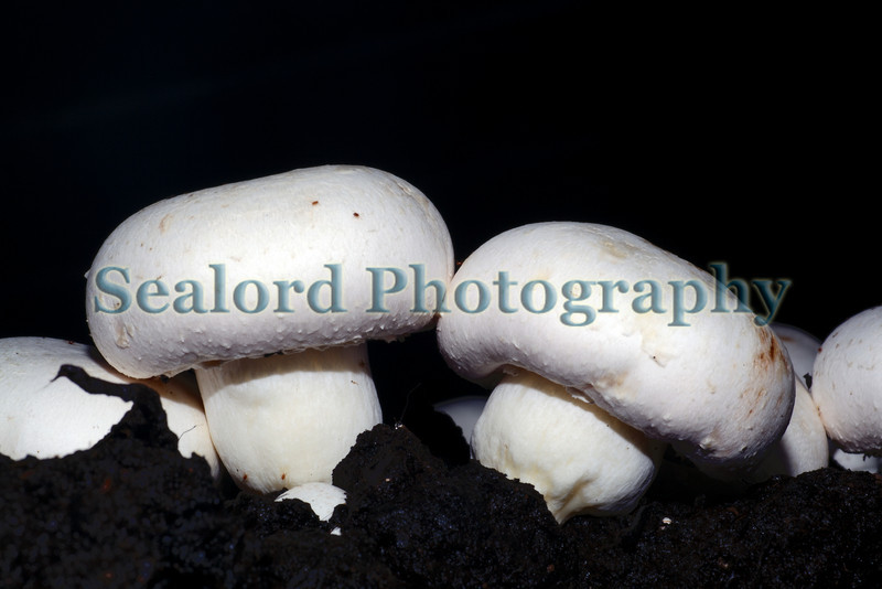 Two mushrooms Guernsey Mushroom Growers 061209 176