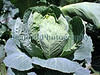 An image of an organically grown immature cabbage at Guernsey Organic Growers farm in Guernsey, Channel Islands, Great Britain.<br /> File No. 190308 3760<br /> ©RLLord<br /> fishinfo@guernsey.net