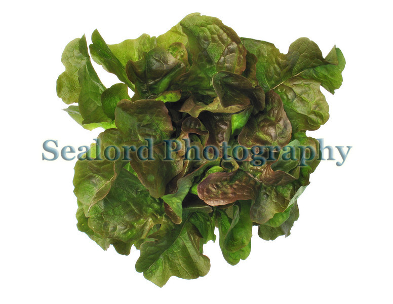 Guernsey organic oakleaf lettuce from Guernsey Organic Growers in Guernsey, Channel Islands.<br /> File No. 190308 3801<br /> ©RLLord<br /> fishinfo@guernsey.net